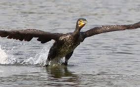 Grand cormoran1