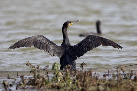 Grand cormoran3