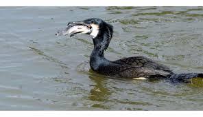 Grand cormoran5